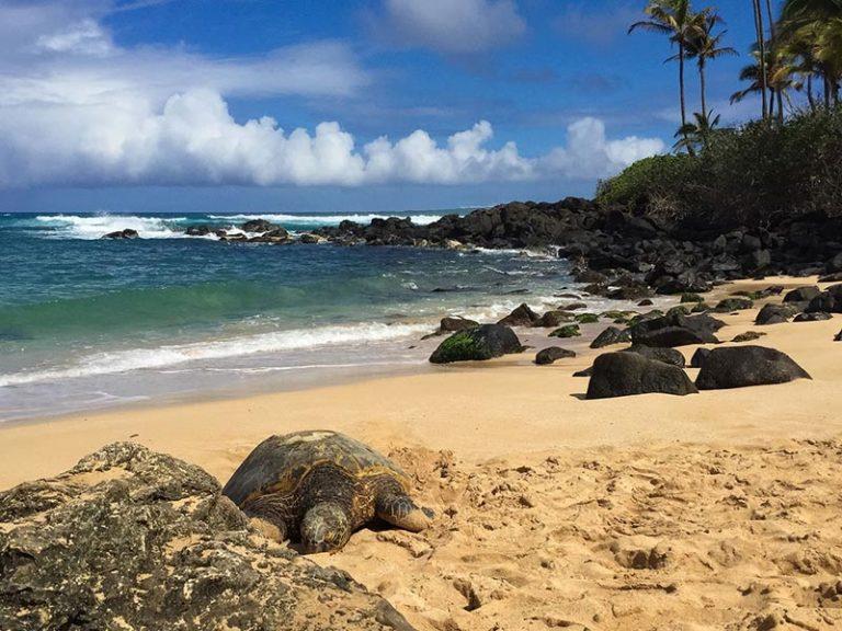 Sea turtle at Laniakea beach