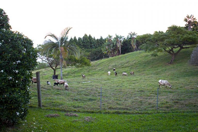 goats and sheep at the rental property