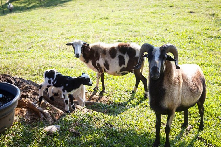 goat and lambs in a pasture