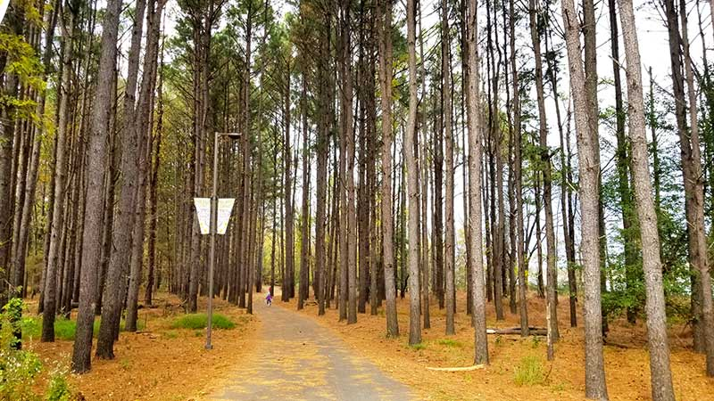 trail lined with pine trees